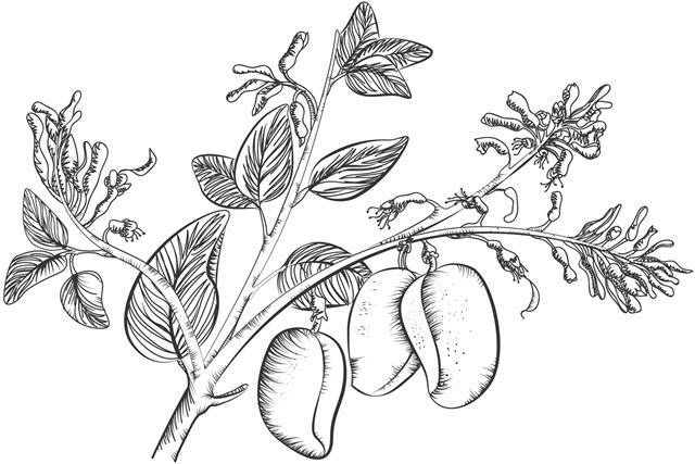 Griffonia Simplicifolia.