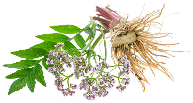 Valerian Root as a Remedy for Insomnia
